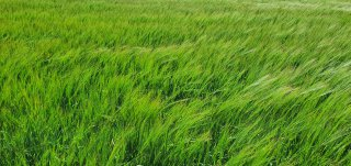Green Wheat Field June 2020